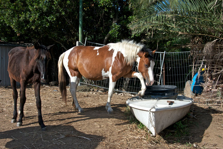 horses refreshing with water Breeding Drinking Water Horses Sardinia Sardegna Italy  Animal Themes Boat Day Domestic Animals Equestrianphotography Foals Livestock Mammal No People Outdoors Paddock Paint Horse Refreshing Riding School Standing Tree