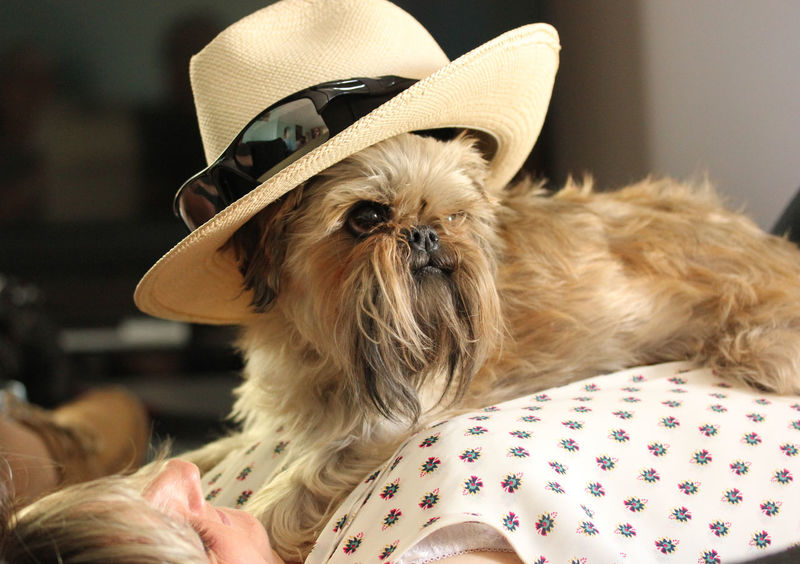 Animal Photography Animal Themes Brown Eyes Close-up Cute Dog  Dog Wearing Hat And Sunglasses Indoors  Long Beard One Animal Pets Small Dog Big Attitude Pet Portraits