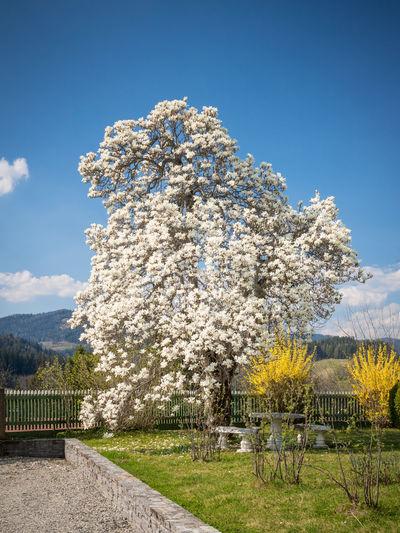 Cherry blossom tree on field against sky