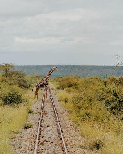 Giraffe crossing the rail line in magadi, rift valley