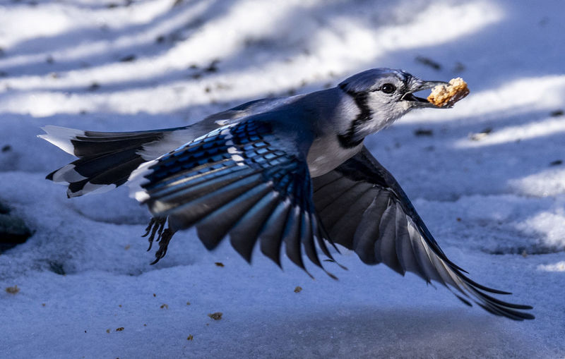 Close-up of a bird flying in snow