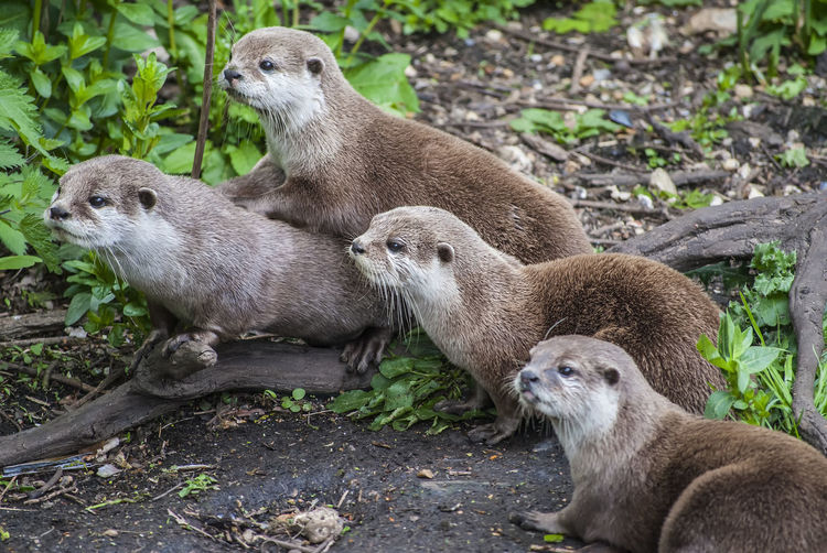 Otters Otters Mamal Wildlife Nature Aquatic Mammal Togetherness Close-up Wild Animal Otter