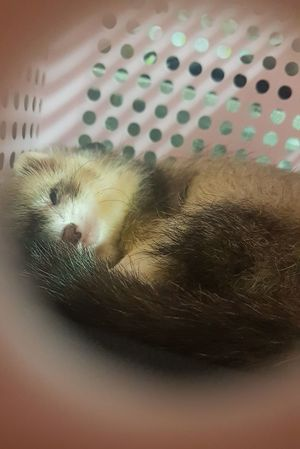 Ferret Animal One Animals Indoors  One Animal Animal Themes No People Pets Mammal Close-up Domestic Animals Day