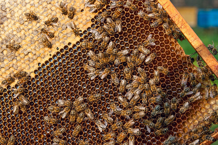 Animal Animal Themes Animal Wildlife Animals In The Wild APIculture Beauty In Nature Bee Beehive Close-up Day Group Of Animals Honey Honey Bee Honeycomb Insect Invertebrate Large Group Of Animals Nature No People Zoology