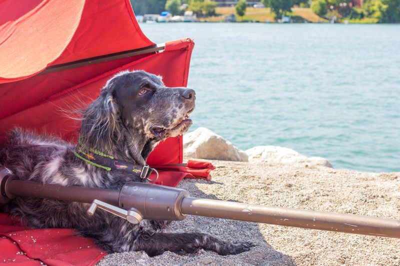 Wendy at the beach Beach Life Beach Photography Detroit River Red Umbrella Stoney Island Dike Dog English Setter No People One Animal Outdoors Pets Umbrella Water