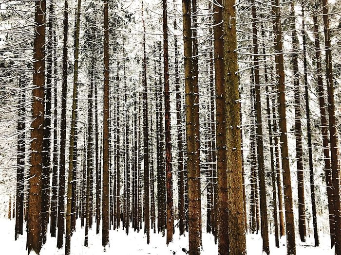 Winter Snow Tree Cold Temperature Pine Tree Forest Pinaceae