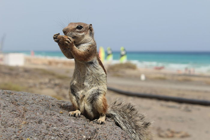 Animal Animal Themes Animals In The Wild Beach Beach Photography Beachphotography Brown Chipmunk Chipmunk Photography Day No People One Animal Sitting Wildlife Zoology