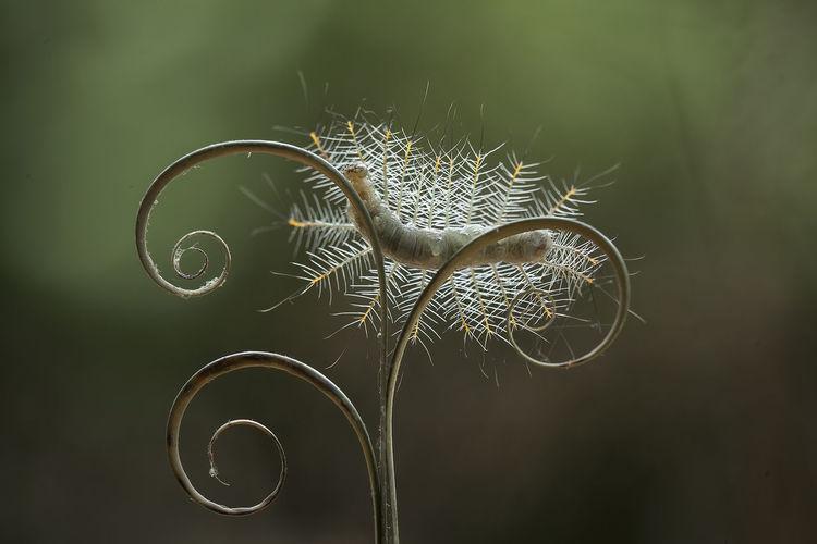 Hairy caterpillar on leaf edge of kalaweit