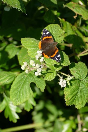 Animals In The Wild Insect Beauty In Nature Butterfly Butterfly - Insect Butterflies Butterfly Collection Butterfly ❤ Red Admiral Red Admiral Butterfly Sand-le-Mere Sand Le Mere Outdoors Beauty In Nature