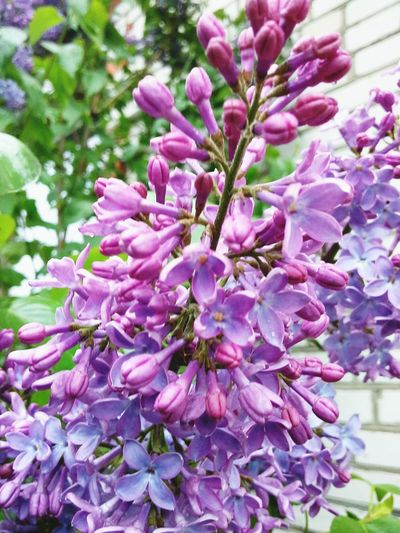 a sprig of lilas A Splash Of Colour A Sprig Of Lilac Flower Collection Flowers, Nature And Beauty Flower Photography