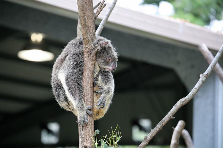 Koala relaxing on tree branch