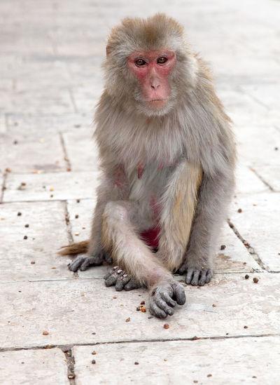 Portrait of monkey sitting on footpath outside temple