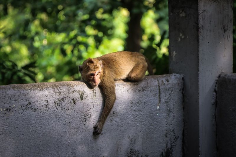 Monkey lying on wall