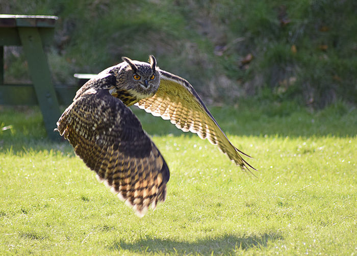 Eagle Owl Flying Over Grass