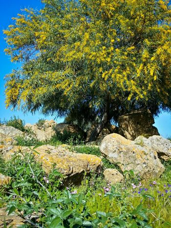 Valley Of The Temples Agrigento Sicily Italy Travel Photography Travel Voyage Traveling Mobile Photography Fine Art Nature Mimosa Trees Yellow Flowers Thistles Rocks Shadows Mobile Editing Showcase April