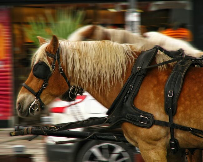 ❤❤horse❤❤ Horse Horse Cart One Animal Animal Themes Day No People Daylight Love Focus Eyem Canon Canonphotography Calvinmiller Photographer Photography Izmir Miller Shutterbug Turkey City Speed Run Beautiful Day