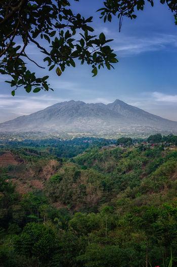 Mountain Salak