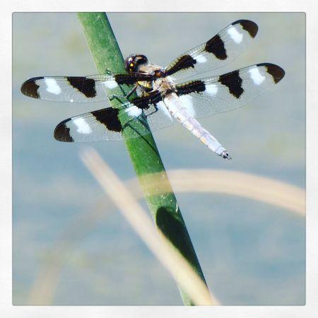 Dragonfly at City Park Lake, Denver,CO. Denver Colorado Insects  Dragonfly Lake Citypark Summertime Panasonic  Digitalcamera Leicalens