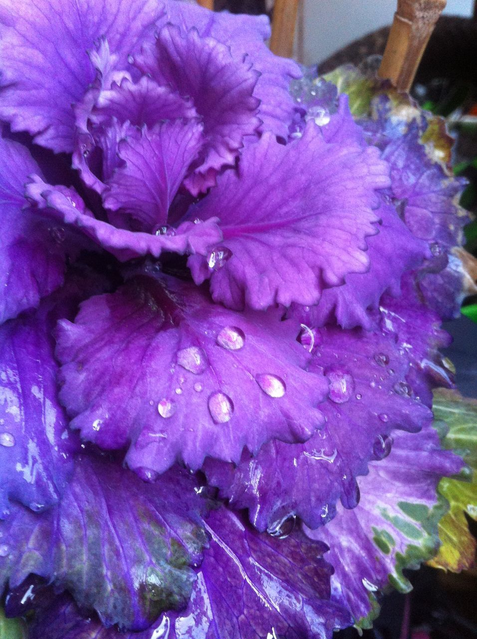 purple, flower, drop, beauty in nature, petal, fragility, no people, nature, wet, freshness, flower head, close-up, outdoors, growth, day, water