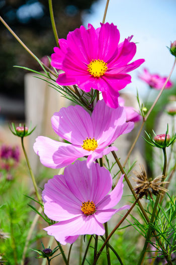Cosmos flowering in a residential garden. Pink Asteraceae Beauty In Nature Close-up Cosmos Flower Flower Flower Head Flowering Plant Fragility Freshness Garden Nature No People Outdoors Petal Pink Color Plant Plant Stem Vulnerability