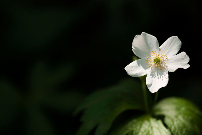 A white wood anemone flower is lit by sunlight filtering through the trees. Copy Space Horizontal Wood Anemone WoodLand Anemone Beauty In Nature Blooming Blossom Close-up Floral Flower Flower Head Fragility Freshness Growth Nature No People Outdoors Petal Plant Season  Seasonal Spring Springtime White Color