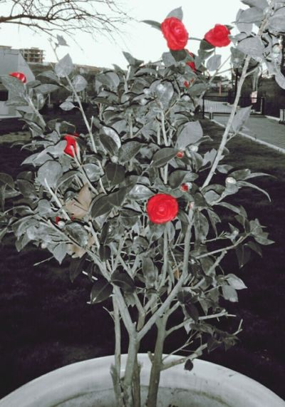 Red Rose Nature Beautiful Love