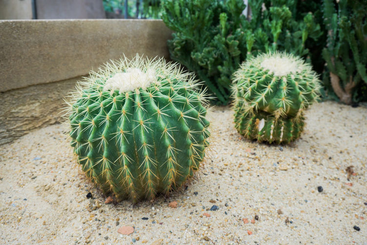 Green Color Succulent Plant Cactus Thorn Plant Spiked Barrel Cactus Growth Focus On Foreground Sharp Outdoors Potted Plant Natural Pattern Arid Climate Land Nature Close-up
