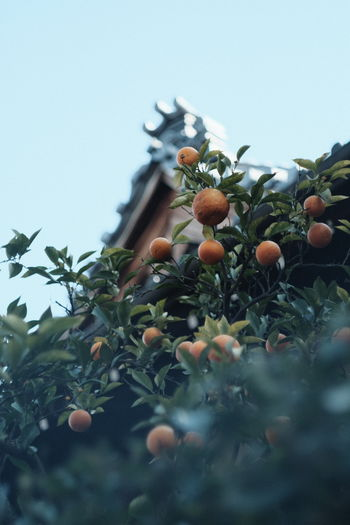 Low angle view of fruits growing on tree against sky