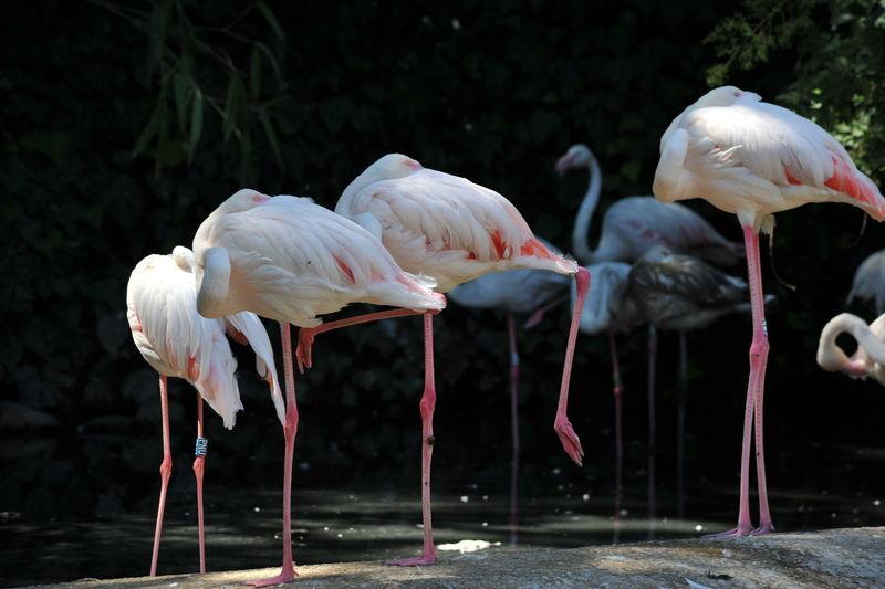 Flamingoes perching at lakeshore