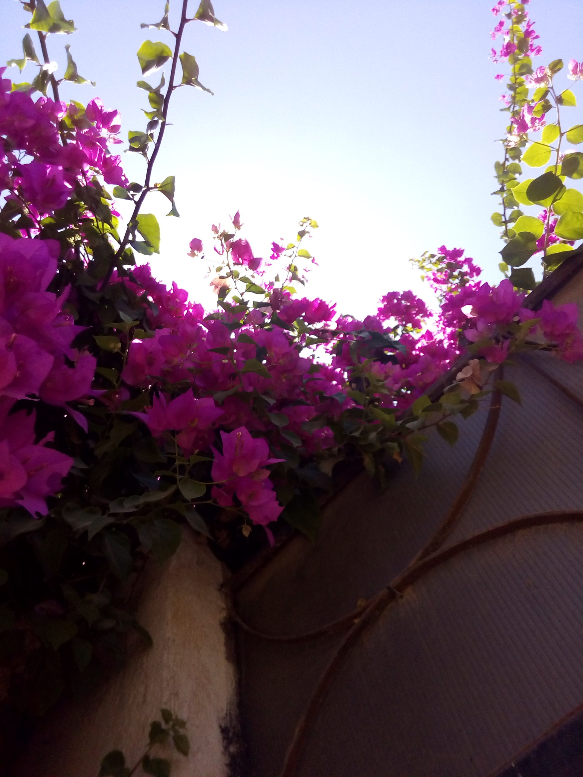flower, freshness, pink color, growth, fragility, petal, beauty in nature, nature, blooming, plant, clear sky, blossom, purple, in bloom, sunlight, pink, flower head, tree, close-up, day