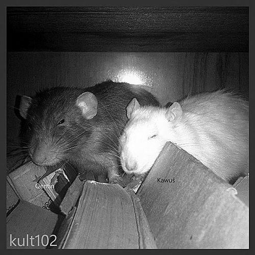 My dear boys 😍. Rats Instarats Beautiful Love ❤ Monochrome Oldschool Instagood Instacool Instago Instapic Lumia Blackandwhite