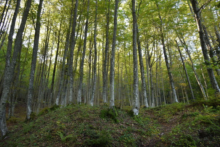 Beech forest in