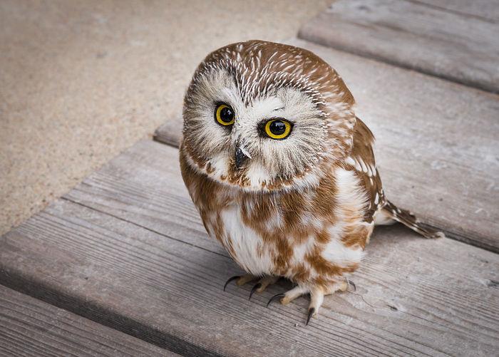 Portrait of owl sitting on wooden walkway