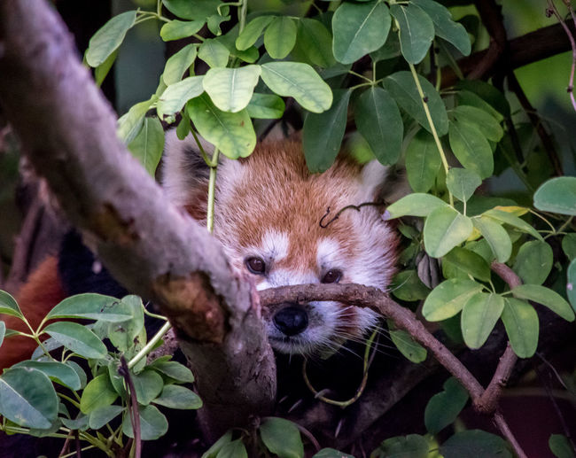 Close-Up Of Red Panda On Branch