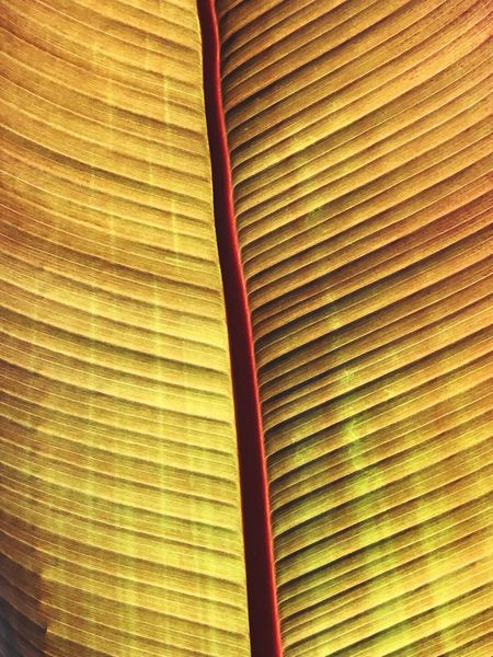 Back Lit Nature Plant Leaf Full Frame Pattern Backgrounds No People Textured  Close-up Abstract Sunlight