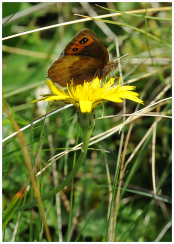 Animals In The Wild Insect Animal Wildlife Perching Outdoors Plant Beauty In Nature Butterfly - Insect Close-up Fragility Pollination Freshness Flower Head Yellow Dandellion Glen Doll Angus Scotland Beauty In Nature Rural Scene