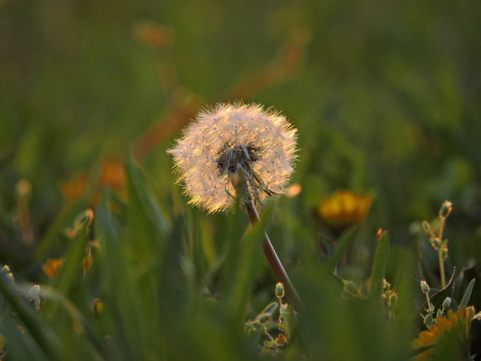 Dandelion Collection Sunlit Beauty Sunlit Glow Flower Plant Fragility Flowering Plant Vulnerability  Freshness Growth Beauty In Nature Close-up Dandelion Nature Selective Focus No People Day Field Flower Head Inflorescence Outdoors Land Focus On Foreground Softness Dandelion Seed