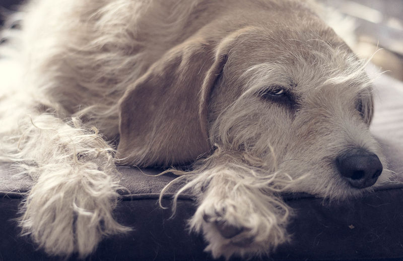 Griffon nap Animal Themes Domestic Animals One Animal Mammal Pets Dog Indoors  Close-up Day Griffonlovers Griffon Griffocrevat Dogoftheday Dogdog Dogs Of EyeEm