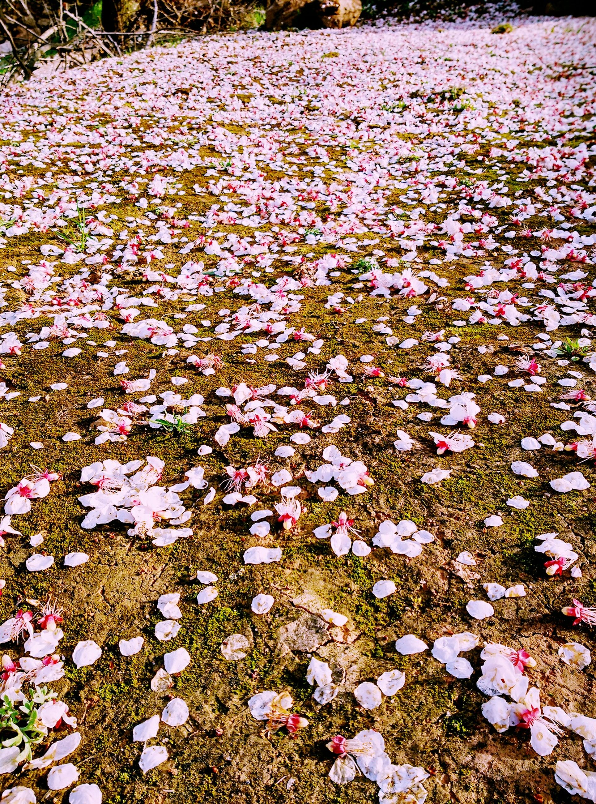 flower, growth, beauty in nature, nature, freshness, fragility, abundance, high angle view, blossom, field, petal, springtime, tree, day, plant, blooming, season, tranquility, pink color, no people