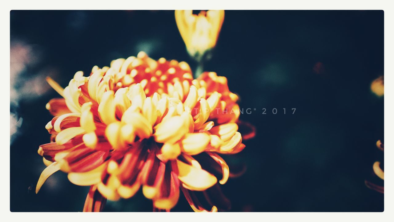 flower, petal, flower head, fragility, freshness, beauty in nature, nature, close-up, yellow, growth, focus on foreground, plant, no people, outdoors, blooming, day