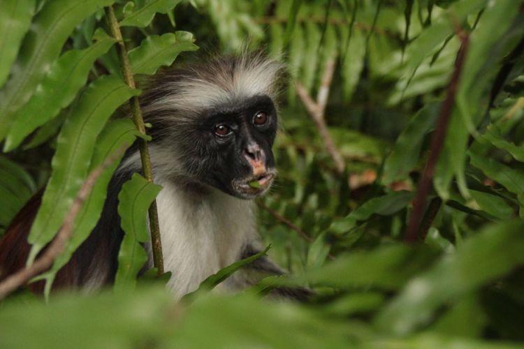Vegetarian Animal Themes One Animal Outdoors Day Leaf Nature Monkey Monkey Face Red Colobus Zanzibar Jozani Forest Animals In The Wild EyeEmNewHere
