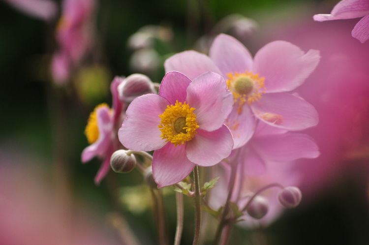 Anemone Hupehensis Anemone Japonica Garden Flowers Gardening Japanese Anemone Beauty In Nature Blooming Chinese Anemone Close-up Day Flower Flower Head Freshness Garden Nature No People Petal Pink Color Timbletweed Windflower