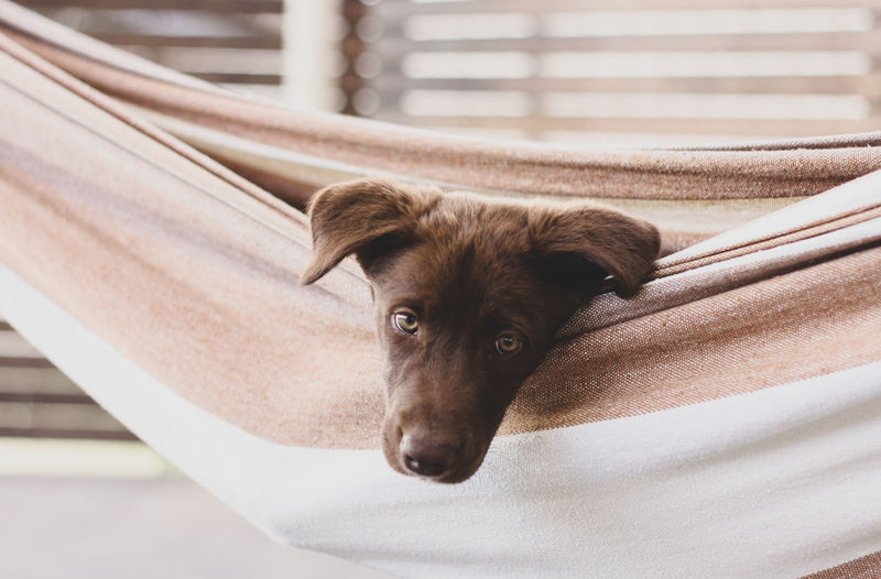 Close-up portrait of dog relaxing in hammock outdoors