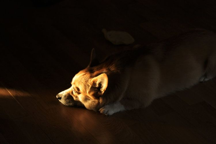 High angle view of dog resting on wooden floor