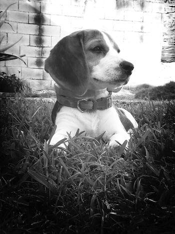 simplemente es mi Adoracion Donna Lour Beagle