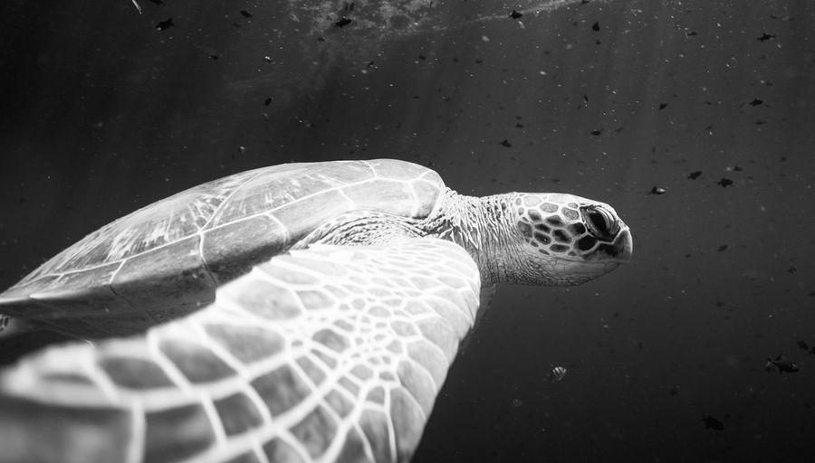 Low angle view of tortoise swimming in sea