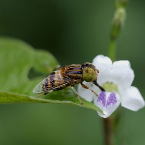 hover fly Animal Themes One Animal Animal Flower Insect Animals In The Wild Beauty In Nature No People Selective Focus Animal Wing Macro