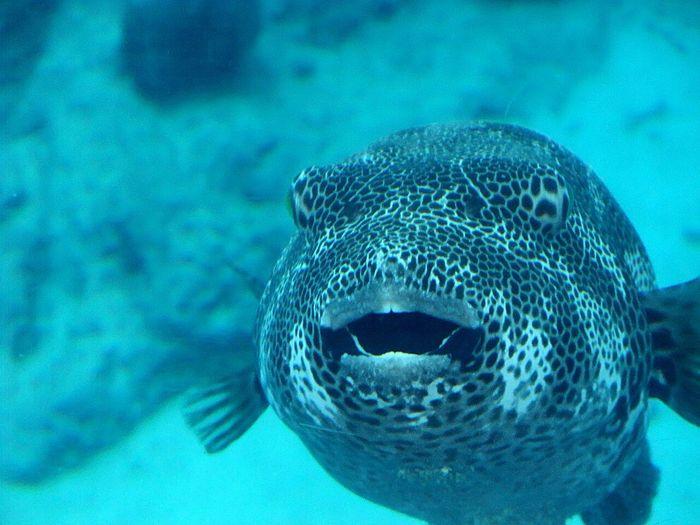 Blowfish Aqarium Fish 美ら海水族館 Churaumi Aquarium From My Point Of View Trip Photo Last Summer OKINAWA, JAPAN