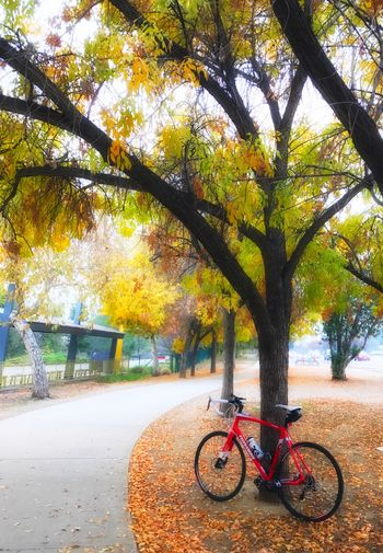 Biking around the park. Tree Nature Transportation Outdoors Bicycle Mode Of Transport No People Autumn Tree Trunk Branch Day Leaf Beauty In Nature California Cycling Roadbike Bike Getting Creative Fall Beauty TreePorn Sweet Bestoftheday Nature Photography Exercise Smile EyeEmNewHere TCPM