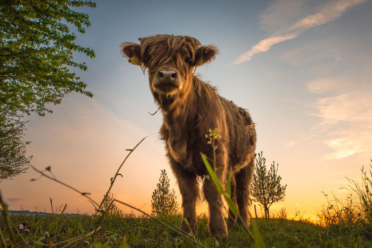 Cow on field against sky at sunset